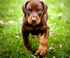 doberman, puppy, and cute image