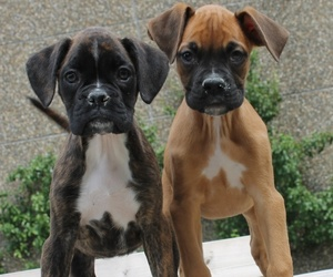 boxers, dogs, and puppies image