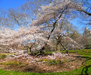 Central Park, pink, and cherry tree image