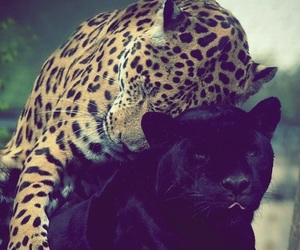 *-*, tumblr, and cute panther image