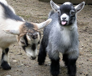 cute and pygmy goats image