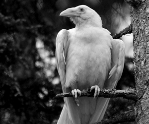 white, raven, and crow image