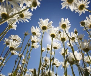 daisy, blue sky, and flowers image