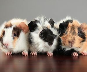 animals, guinea pigs, and cute image