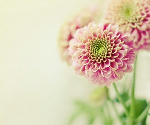 pink, flowers, and beautyful image