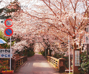 japan, sakura, and photography image