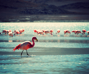 flamingo, pink, and water image