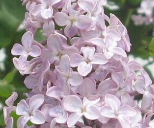 flower, pink, and lilac image