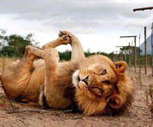 humor, lion, and lol image