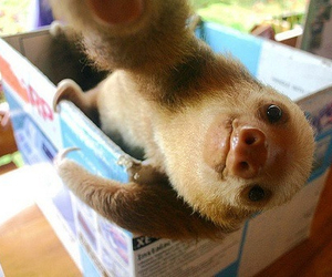 cute, animal, and sloth image