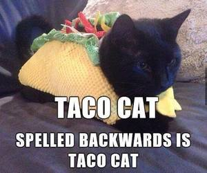tacos, cat, and funny image