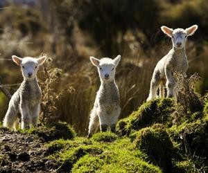animal, lamb, and nature image