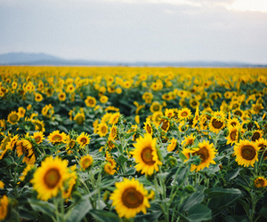 flowers, sunflowers, and indie image