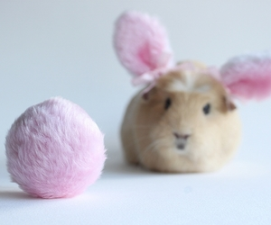 guinea pig and pink image