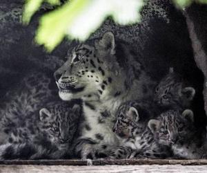 aww, snow leopard, and meow image