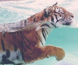 tiger, water, and animal image