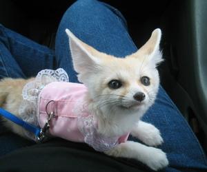 fennec fox, fox, and cute image