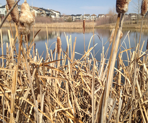 cattails, Houses, and pond image