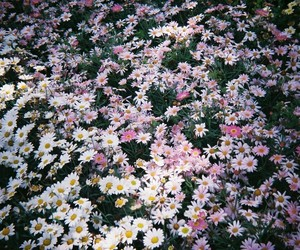 field, pink, and camomiles image