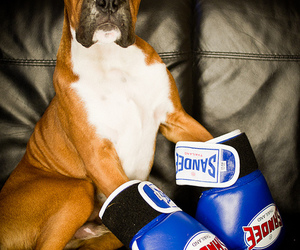 boxer, george, and puppy image