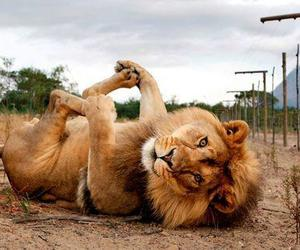 funny, lion, and nature image