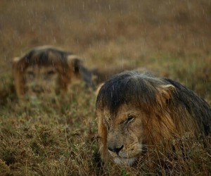 beautiful, hair, and lions image