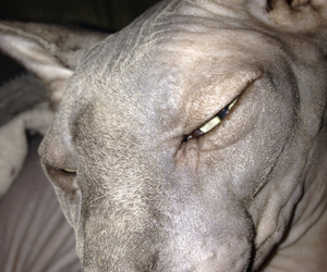 bedtime, sphynx, and cat image