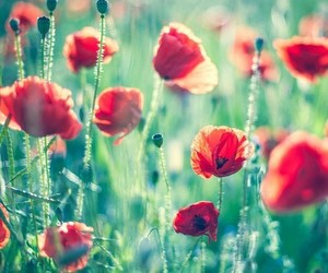 flowers, nature, and poppy image