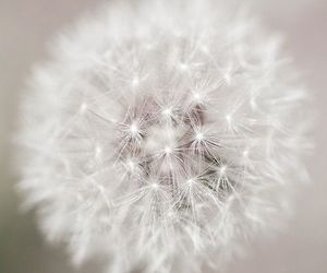 b&w, dandelion, and black and white image