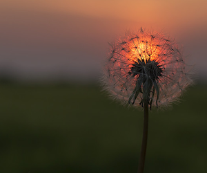 sunset, dandelion, and flowers image