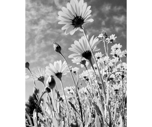 flowers, daisy, and black&white image