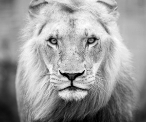 lion, sultan, and south africa image