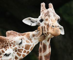 giraffe, love, and kiss image