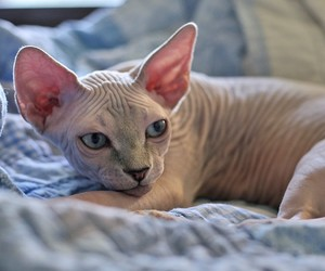 adorable, cat, and hairless image