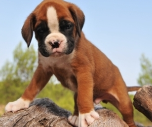 boxer dogs image