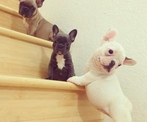 dog, cute, and french bulldog image