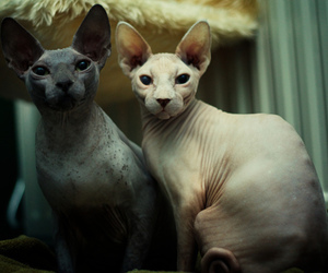 photography, sphynx, and sfings image