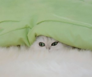 animals, pets, and white cat image