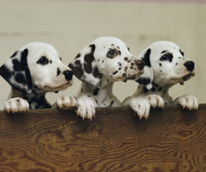 dalmatian, puppy, and cute image