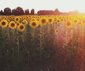 flowers, sunflower, and hipster image