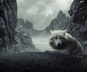 wolf and white image