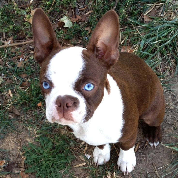 25 Images About Boston Terriers On We Heart It See More Terrier Dog And Puppy