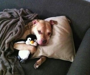 adorable, dogs, and pit bulls image