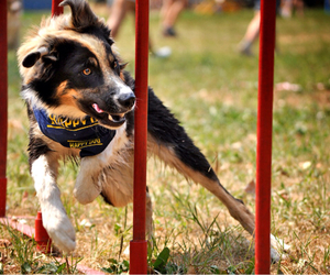 canine, dog, and agility image