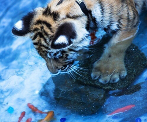 tiger, fish, and animal image