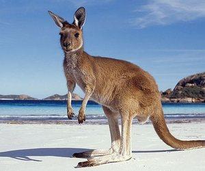 kangaroo and kangaroo island image