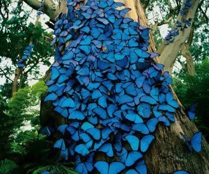 blue butterflies and borboletas azuis image