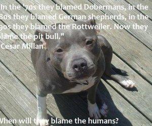 dog, pitbull, and rottweiler image