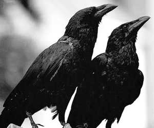 bird, black and white, and crows image