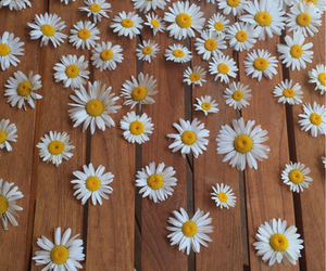 daisy, flowers, and spring image
